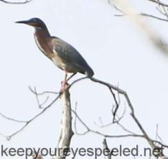 green heron in tree top
