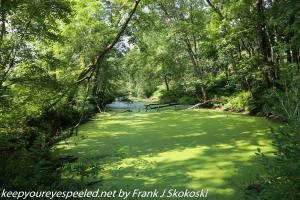 duckweed covered pond