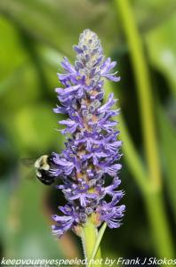 bee on pickerel weed