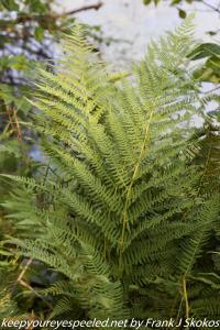 lady ferns
