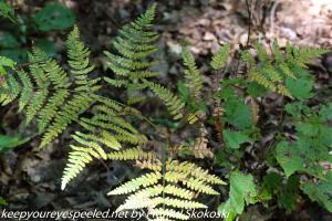 bracken fern in nature