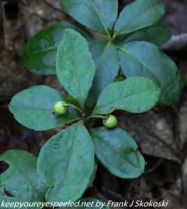 green teaberries