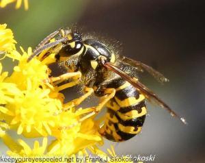 yellow jacket on goldenrod flowers