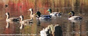 mallard ducks on lake in autumn