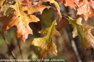 oak leaves turning colors