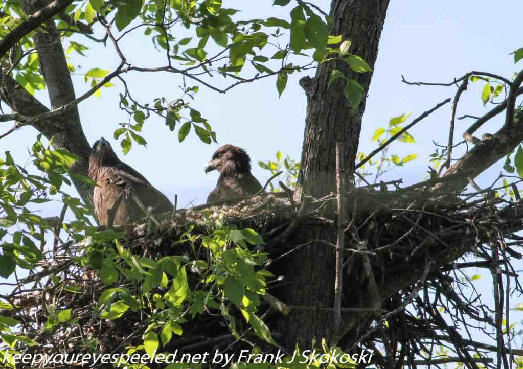 bald eagles (7 of 10)