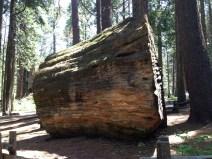 Sequoia gigantea stump