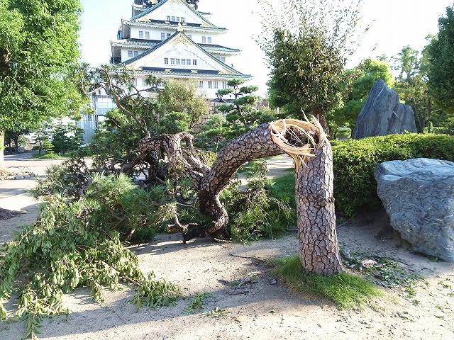 台風で折れた松の木