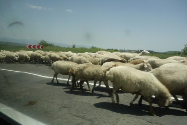 圧倒的な羊