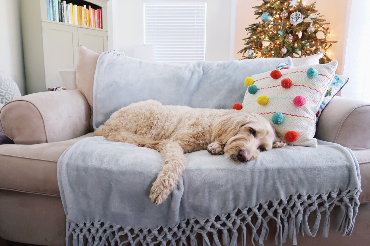 Goldendoodle napping on a couch with a blanket and pillow. Lit Christmas tree and colorful book case in the background.
