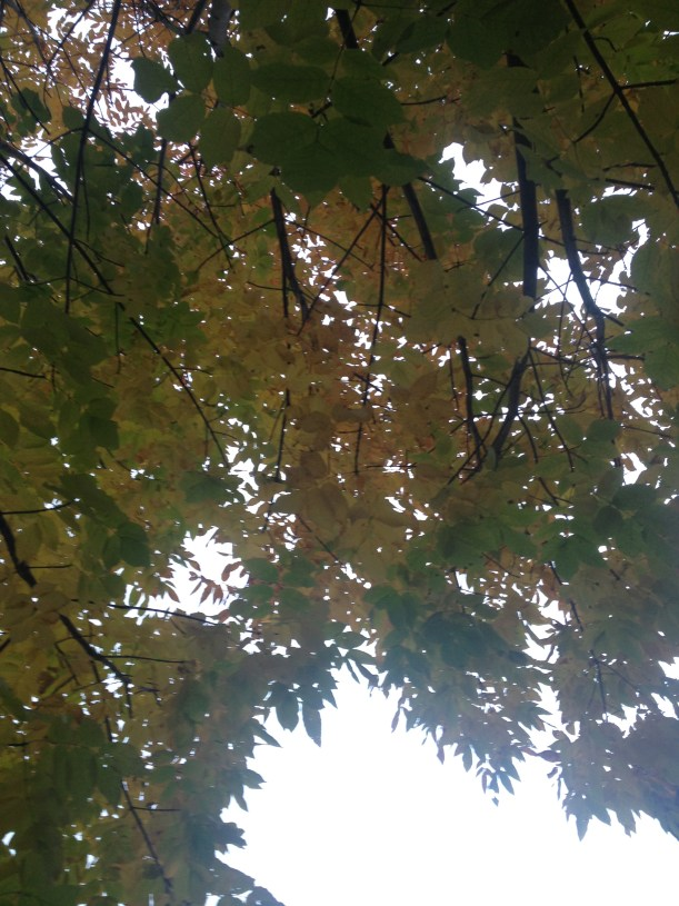 ashtree_fall2016