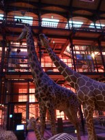 Giraffes peering up to the galeries above