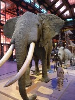 Elephants lead the march of animals in the Galerie de l' Evolution