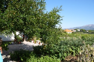 Pomegranate tree at winery garden in Lumbarda