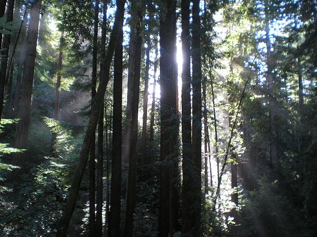 Redwoods. Photo by jtgolden [Public domain].