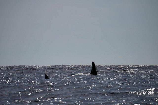 A picture of the fins of two orca whales