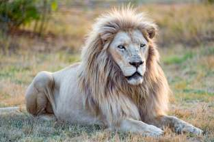 white-lion-hd-wallpapers