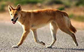 luckily the dingo was not hungry