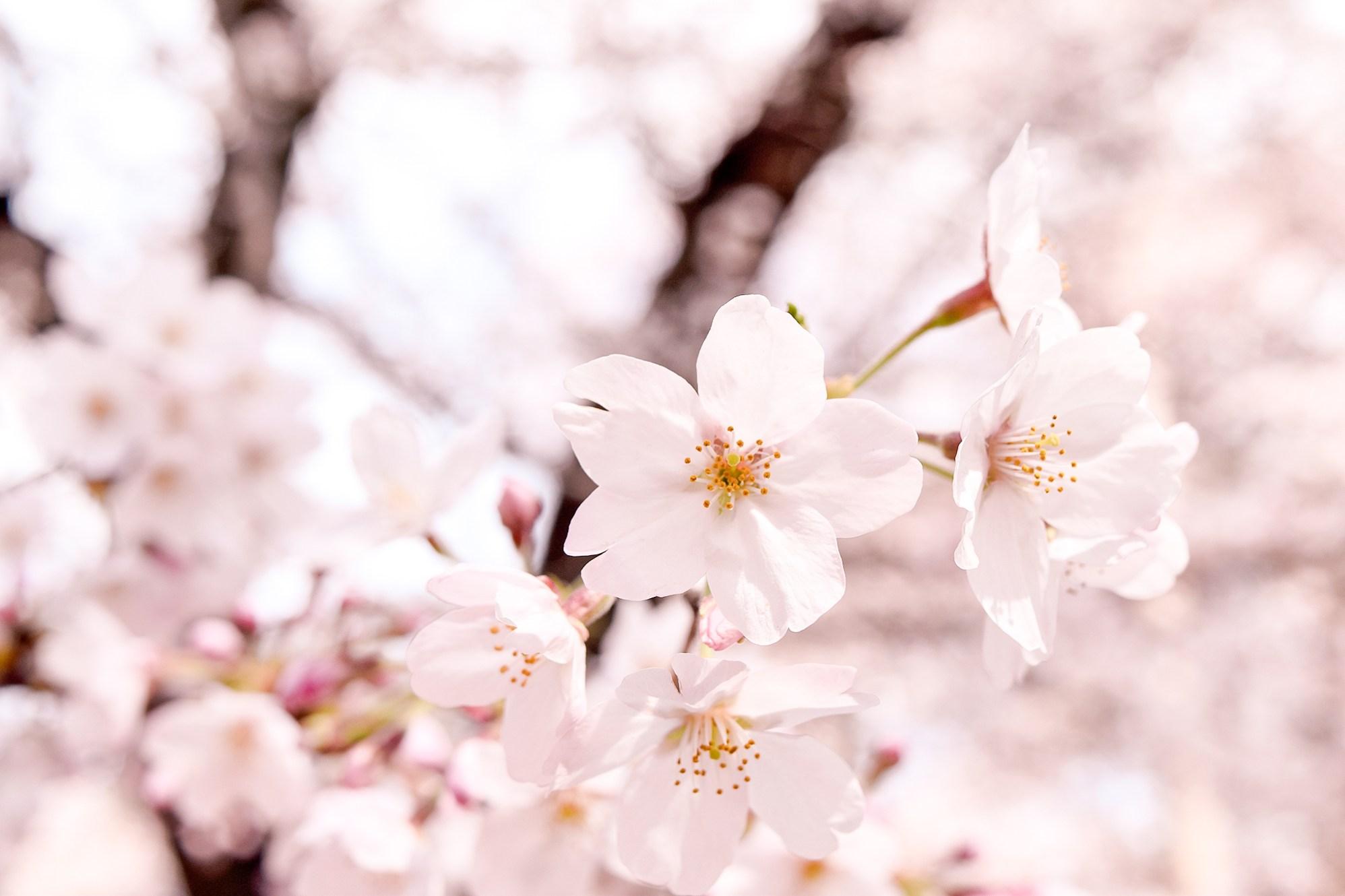 Cherry Blossoms in Omiya Park