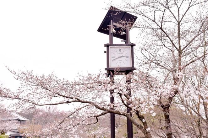 Sakura in Kiyomizu-dera