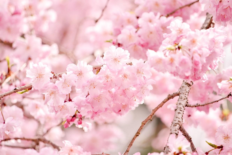 Sakura in Nara, Japan