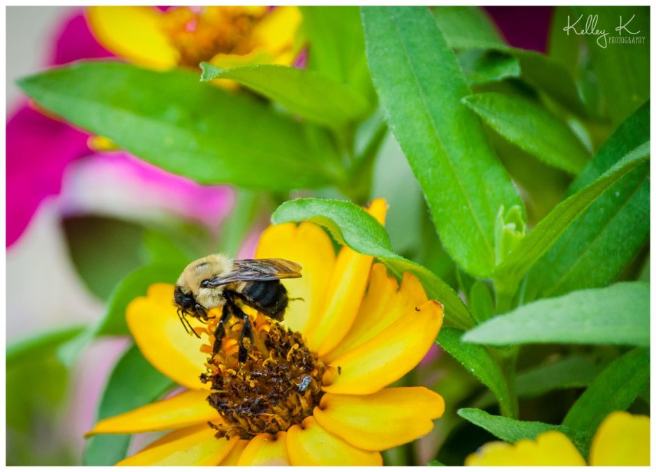 carpenter bees on flowers | Kelley K Photography