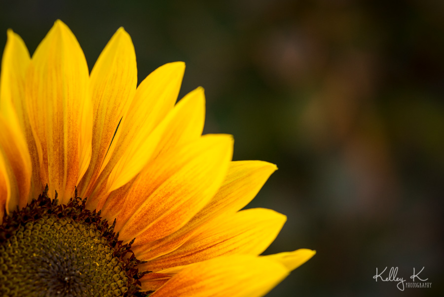 Sunflower-macro-KelleyKPhotography-SmyrnaGA