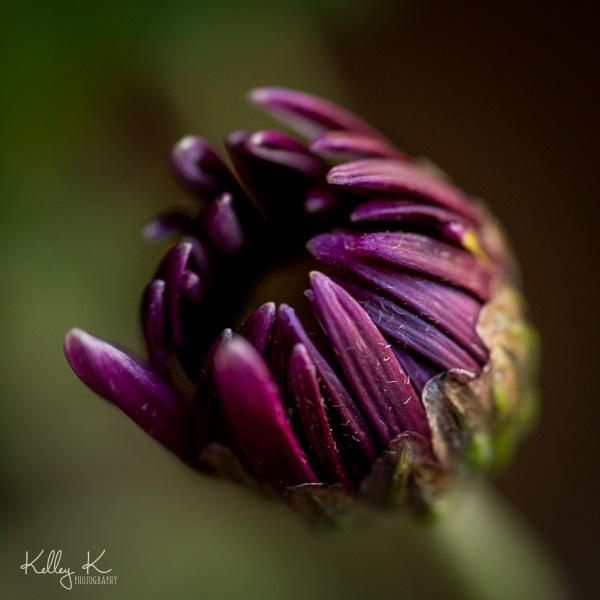 deep-purple-flower-bud-blooming
