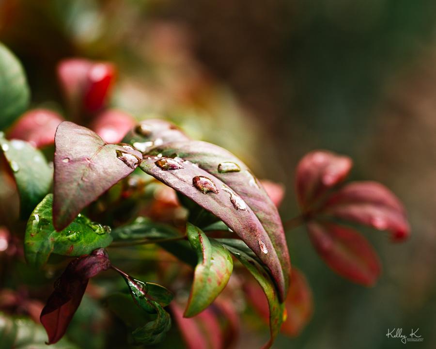 Fine art macro of rain drops on colorful nandina leaves