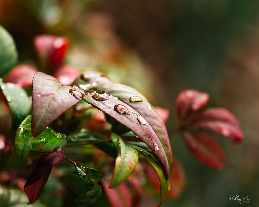 Fine art macro of rain drops on colorful nandina leaves