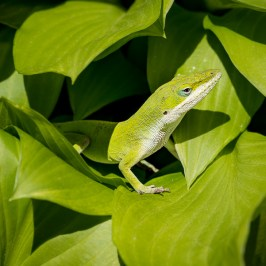 Fine art macro of green lizard on green leaves