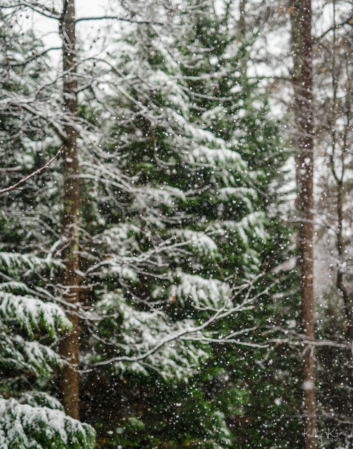 Evergreen trees during snow fall
