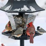 Northern cardinals, a tufted titmouse and a black-capped chickadee share a feeder.