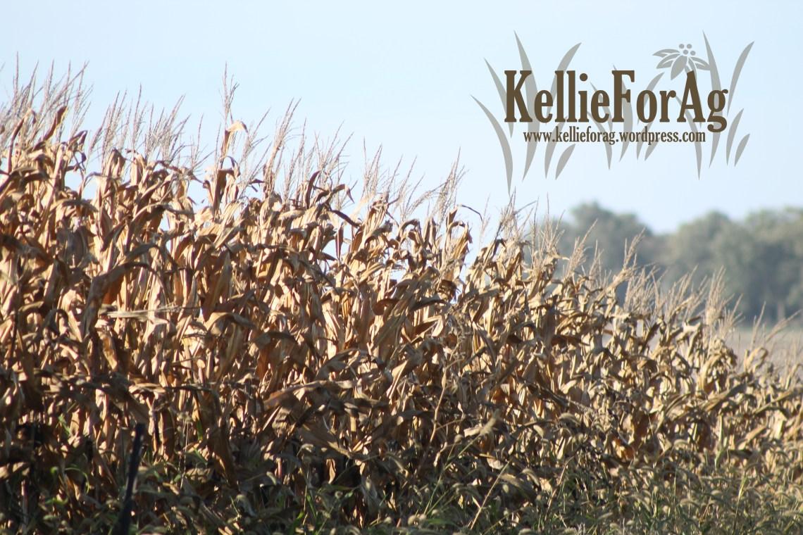 Pick that corn!