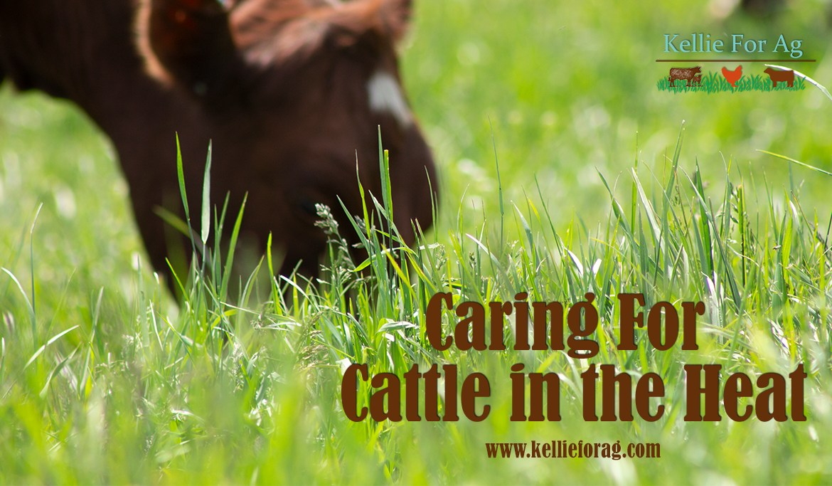 Caring For Cattle in Heat