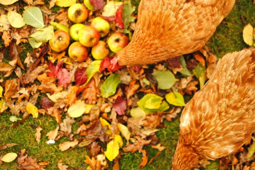 hens and apples
