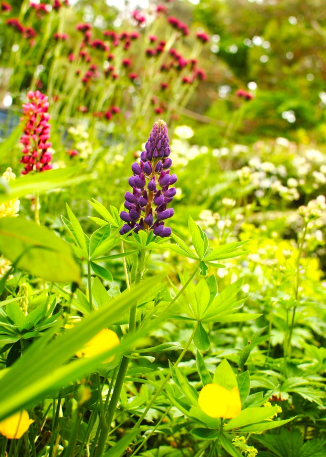 scottish thistle and lupin