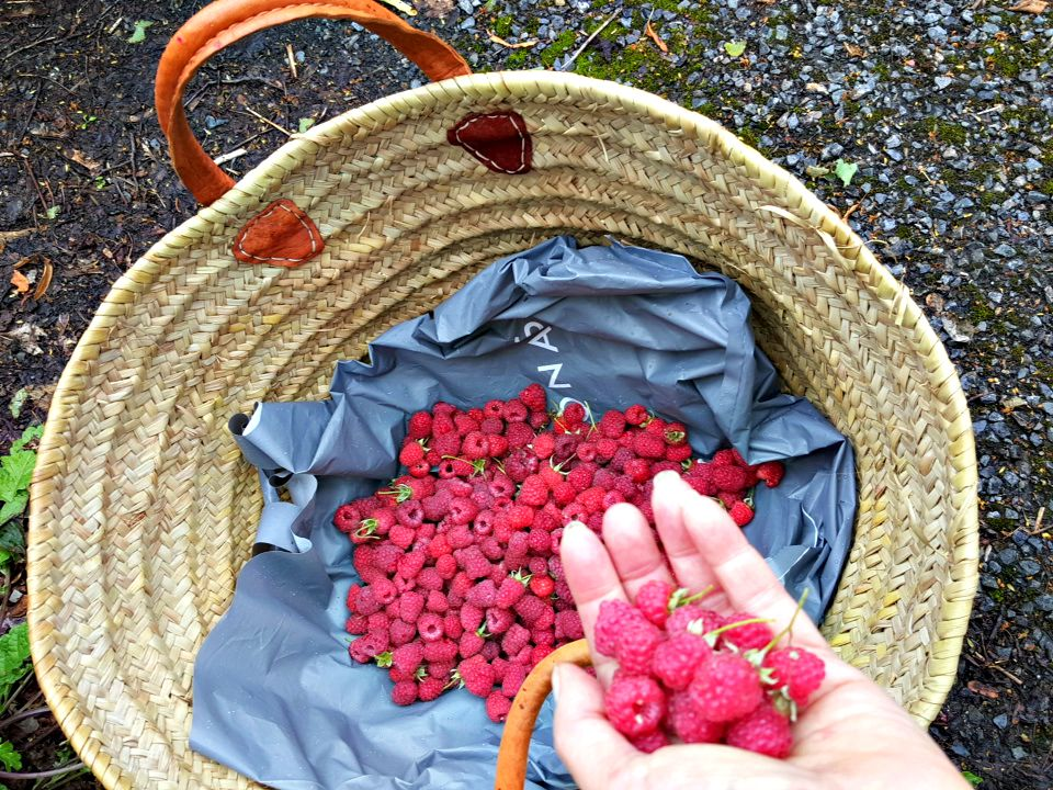 wild raspberries sneakily picked from a deserted car park