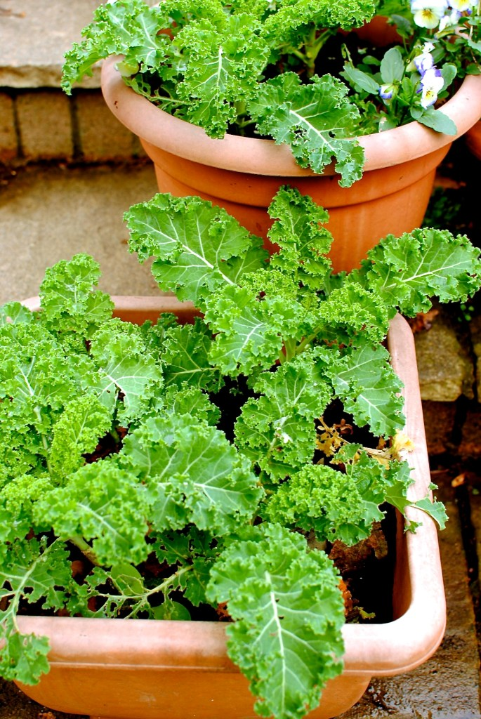 you don't need a big garden to grow kale! Kale can grow on a balcony, on steps in pots, or in raised beds. A super easy and satisfying crop to grow. I've got them growing in pots and beds around the garden.