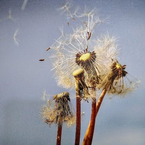 Blown Dandelions on Canvas by Kelly Cushing