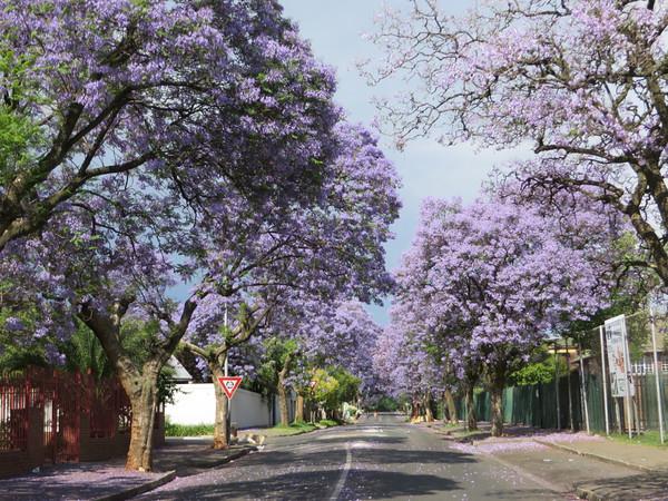 Jacarandas in Melville