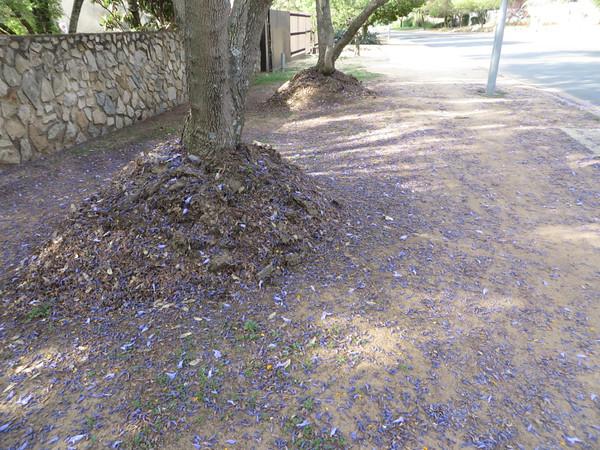 Fallen Jacaranda petals create a sparkling carpet of violet