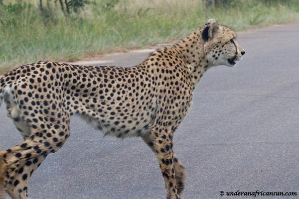 Male Cheetah