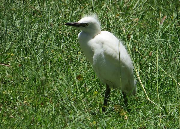 Juvenile Egret ?