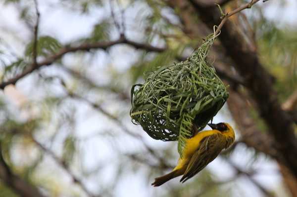 Southern Masked Weaver.  I so wish he would come with us.