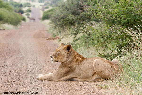 Lioness and Zebra in the road
