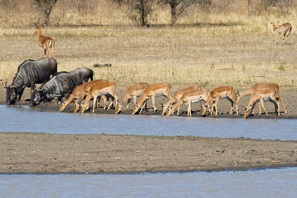 Wildebeest and Impala