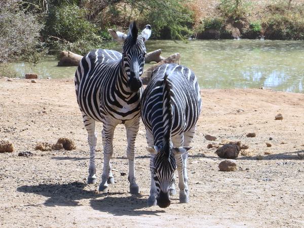 Zebra buddies at Pilanesberg Centre