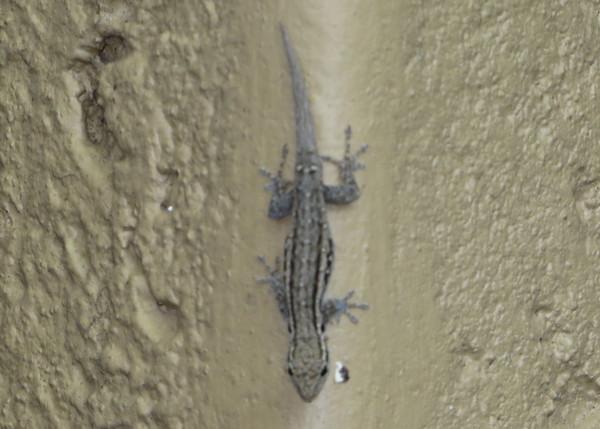 Little geckos are always found hanging around