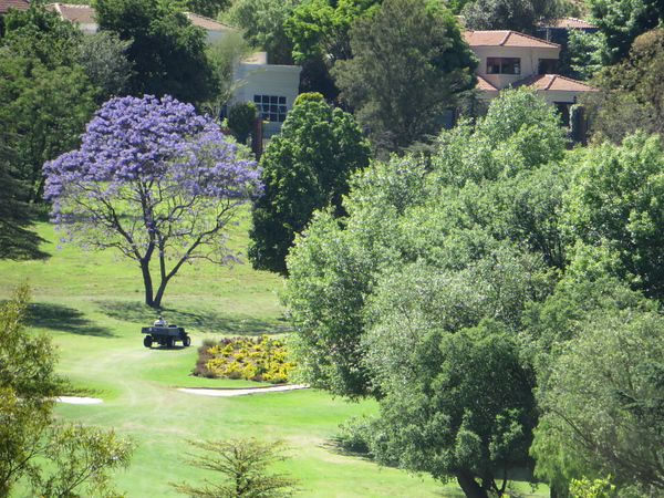 Lone Jacaranda on the golf course in front of my office